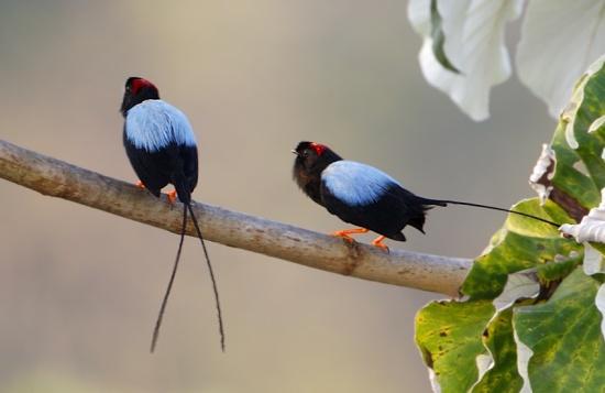 550px-Long-tailed-Manakin_V0A01922