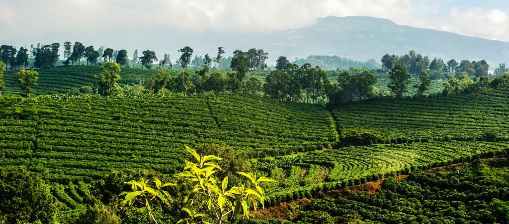 costa rican coffee arabica