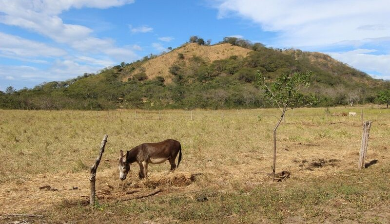 donkey-at-farm-for-sale-in-tamarindo