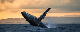 Jumping humpback whale at sunset
